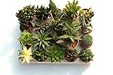 20 suculentas naturales, raras y coleccionables, sin...