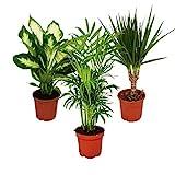 Indoor Plant Mix II Set of 3, 1x Dieffenbachia, 1x...