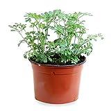 Sin marca Ruda (Maceta 10,5 cm Ø) - Planta Viva - Planta...