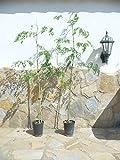 2 árboles Moringa oleifera, árbol de la Salud y «de Las...