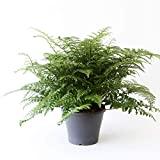 Planta de interior de Botanicly – Helecho Nido de Ave –...