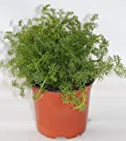 Sin marca Manzanilla (Maceta 10,5 cm Ø) - Planta Viva -...