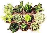 11 Suculentas naturales, raras y coleccionables, sin...