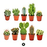 Conjunto de 10 cactusdiferentes, con macetero de...