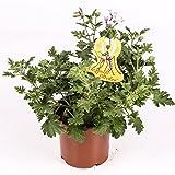 Citronella - Planta antimosquitos - Maceta 15cm. -...