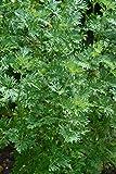 Premier Seeds Direct HRB40 - Semillas para Hierbas (ajenjo)