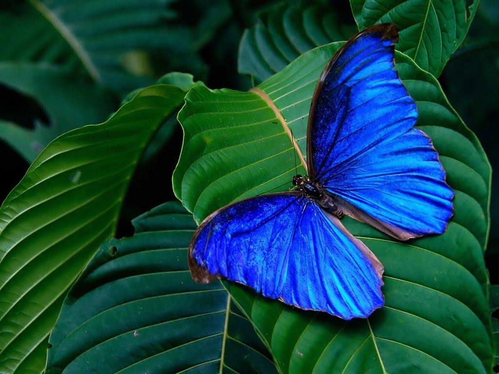 Mariposa Azul sobre una Hoja
