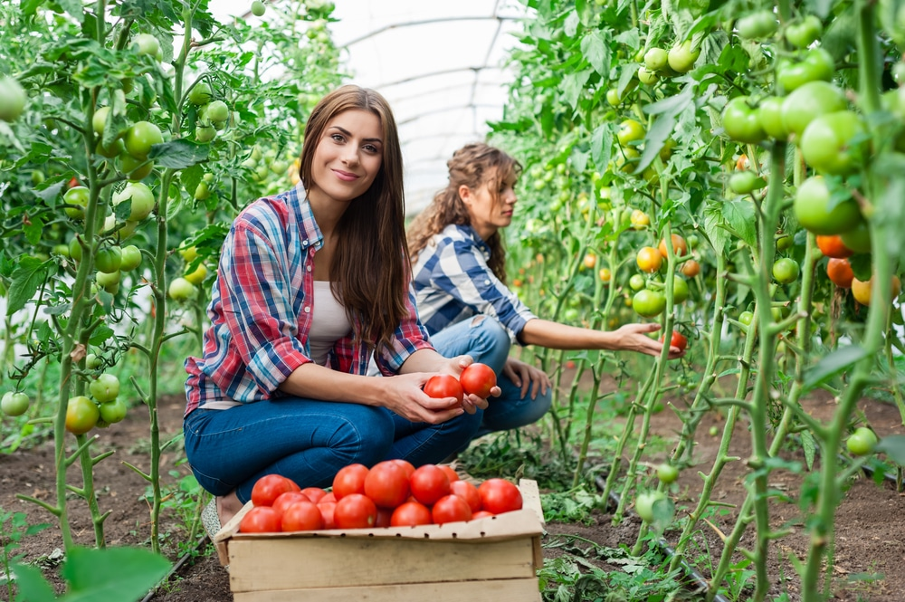 WWOOF-tomatoes