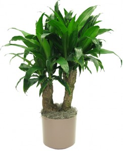 dracaena janet craig stump