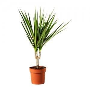 dracaena-marginata-planta__0112750_PE264649_S4