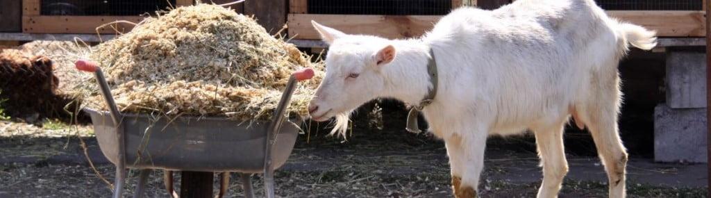 de-cabra-y-una-carretilla-con-el-estiércol-de-los-animales-de-pastoreo-1239969026_86