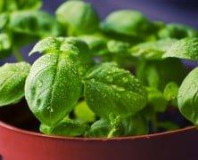 10 Razones Para Tener Una Planta De Albahaca En Casa