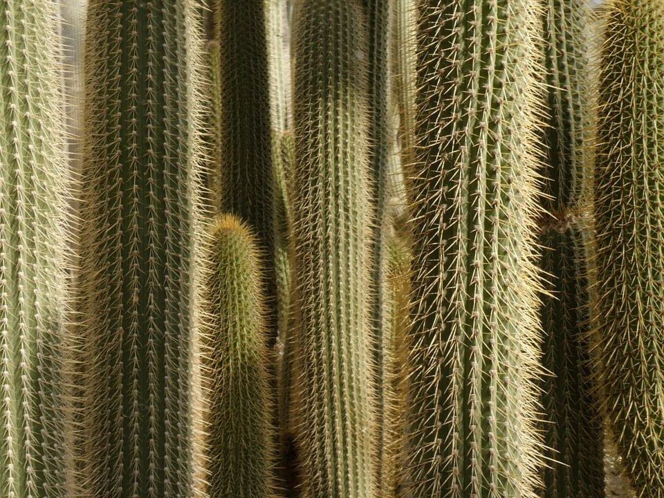 Beneficio comer cactus