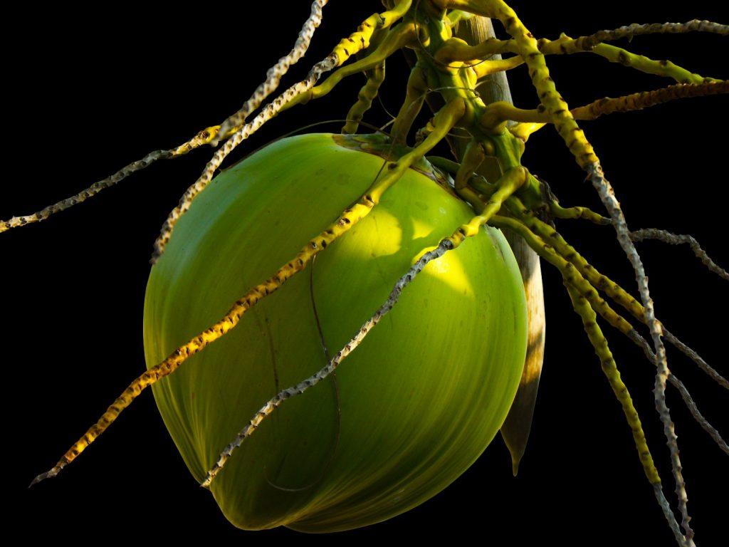 coconut-coconut-tree-plant-60713-jpeg