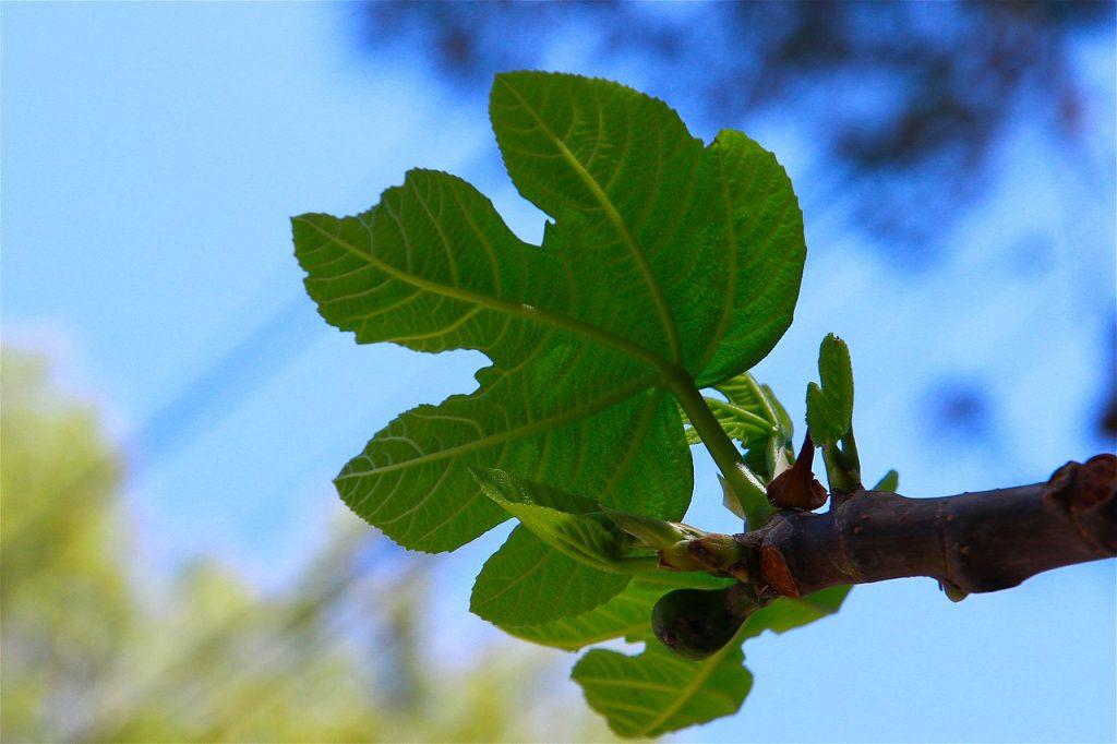 fig-leaf-2162156_1280