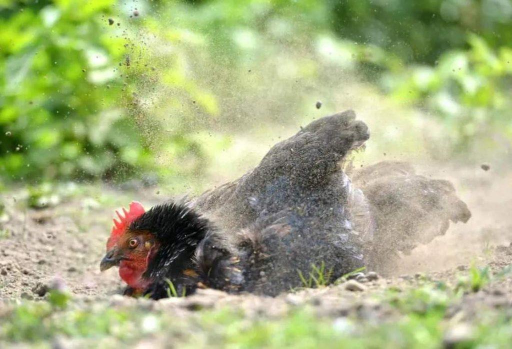 uso de la ceniza con las gallinas