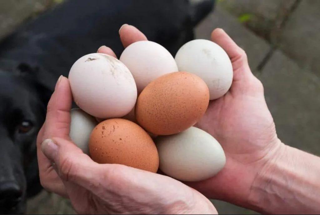 uso de la ceniza en las gallinas