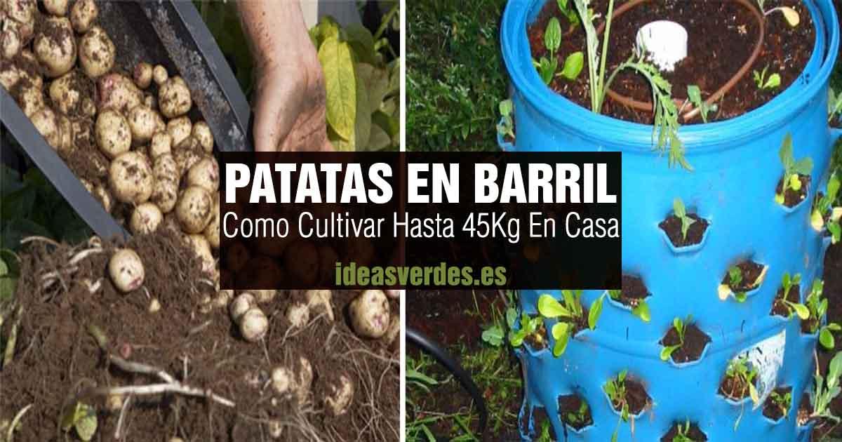 cultivar Patatas barril