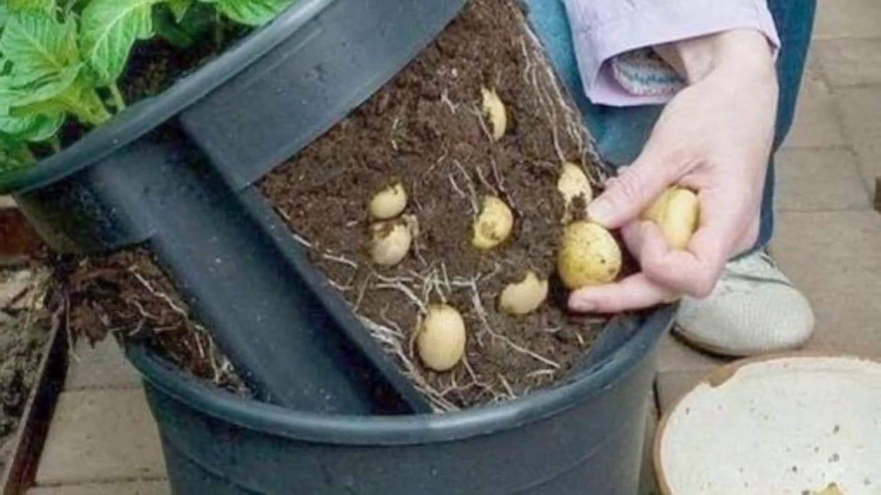recipiente cultivar patata