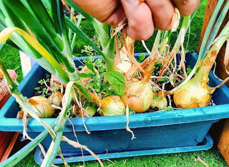 Como Cultivar Cebollas En Maceta