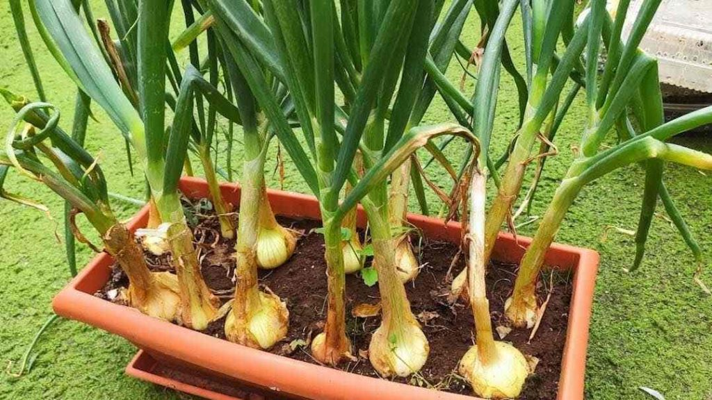 Como cultivar cebollas maceta