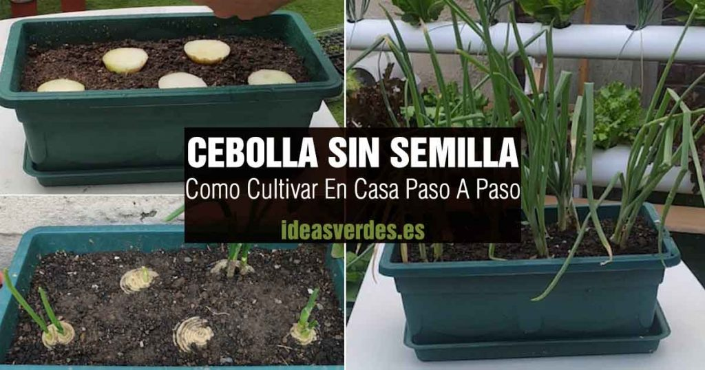 como cultivar cebolla en maceta sin semilla