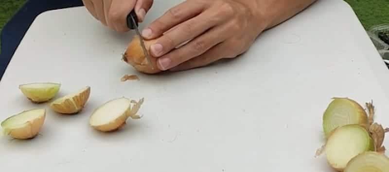 como germinar cebolla sin semilla