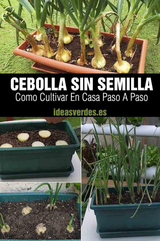 como plantar cebollas en maceta sin semilla