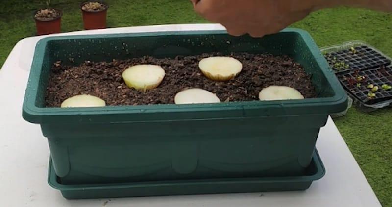 como plantar cebollas sin semilla