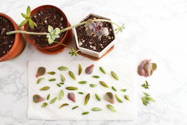 plantar suculentas por hojas
