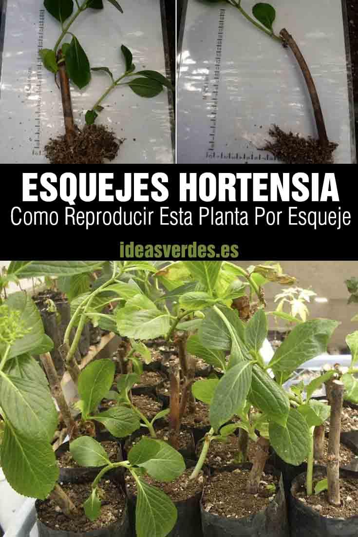 Esquejes De Hortensias