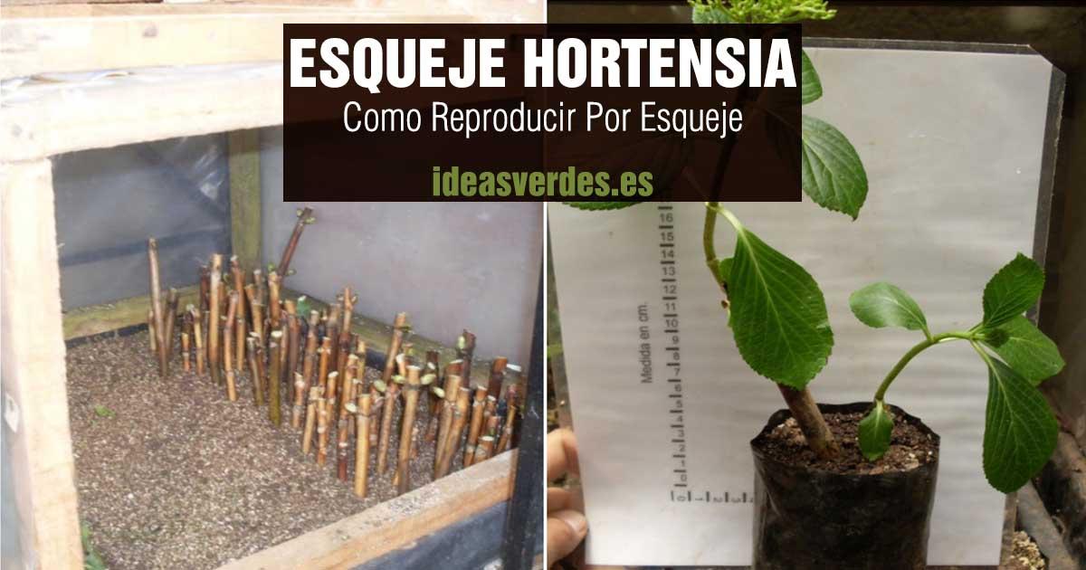 como reproducir esqueje de hortensia